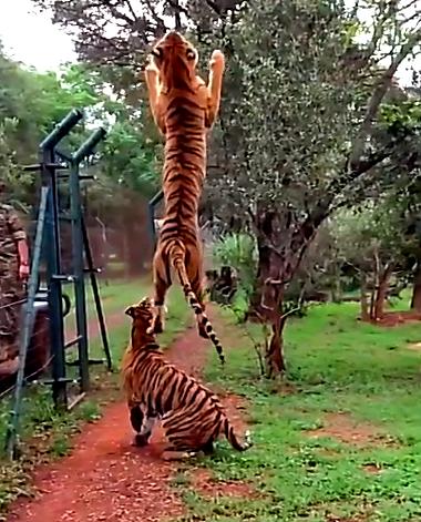 *彩蛋:动物饲养员与老虎一起演示