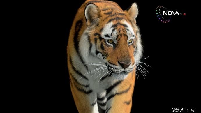 nova-老虎