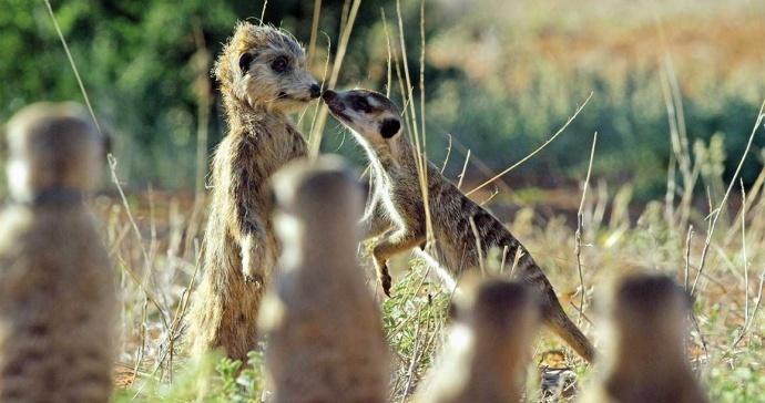 偷拍只服BBC!动物版的《无间道》也只有他们能拍出来